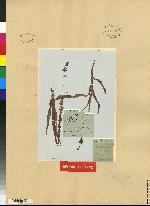 Piperia lancifolia image