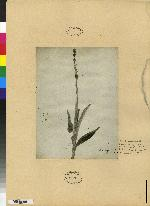 Piperia longispica image