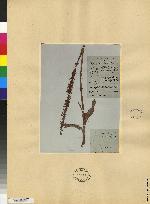 Piperia multiflora image