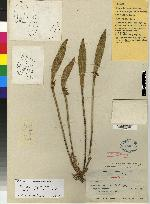 Pleurothallis sicaria image