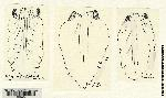 Image of Spiranthes intermedia