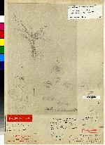 Stelis aemula image