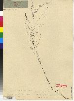 Cyclopogon werffii image