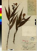 Image of Selenipedium chica