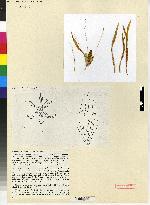 Sigmatostalix brownii image