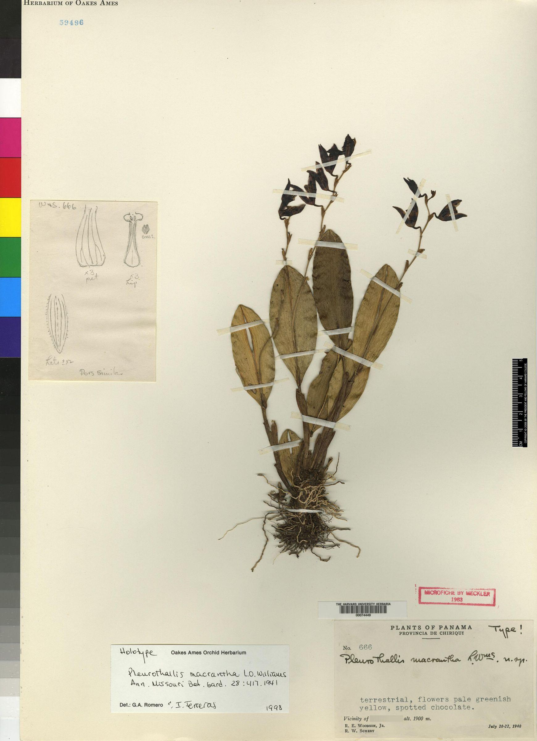 Pleurothallis macrantha image
