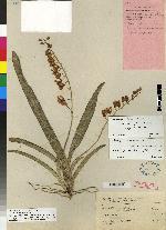 Rodriguezia lanceolata image