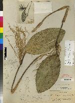 Pleurothallis floribunda image