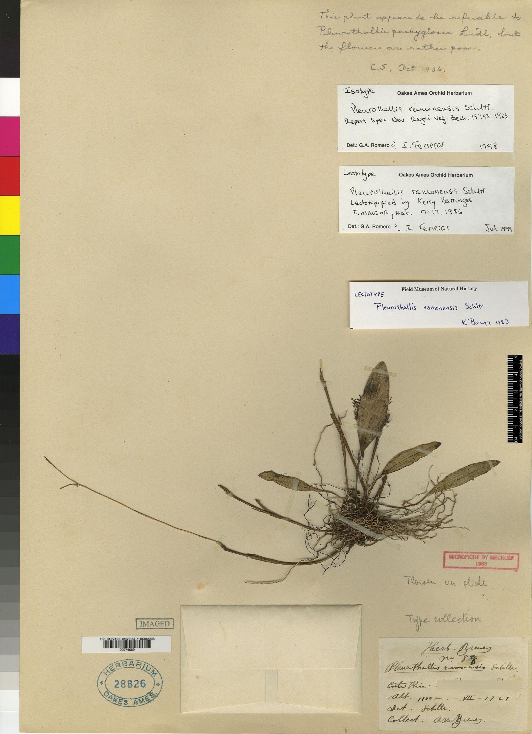 Pleurothallis ramonensis image