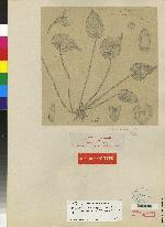 Pleurothallis rhodoglossa image