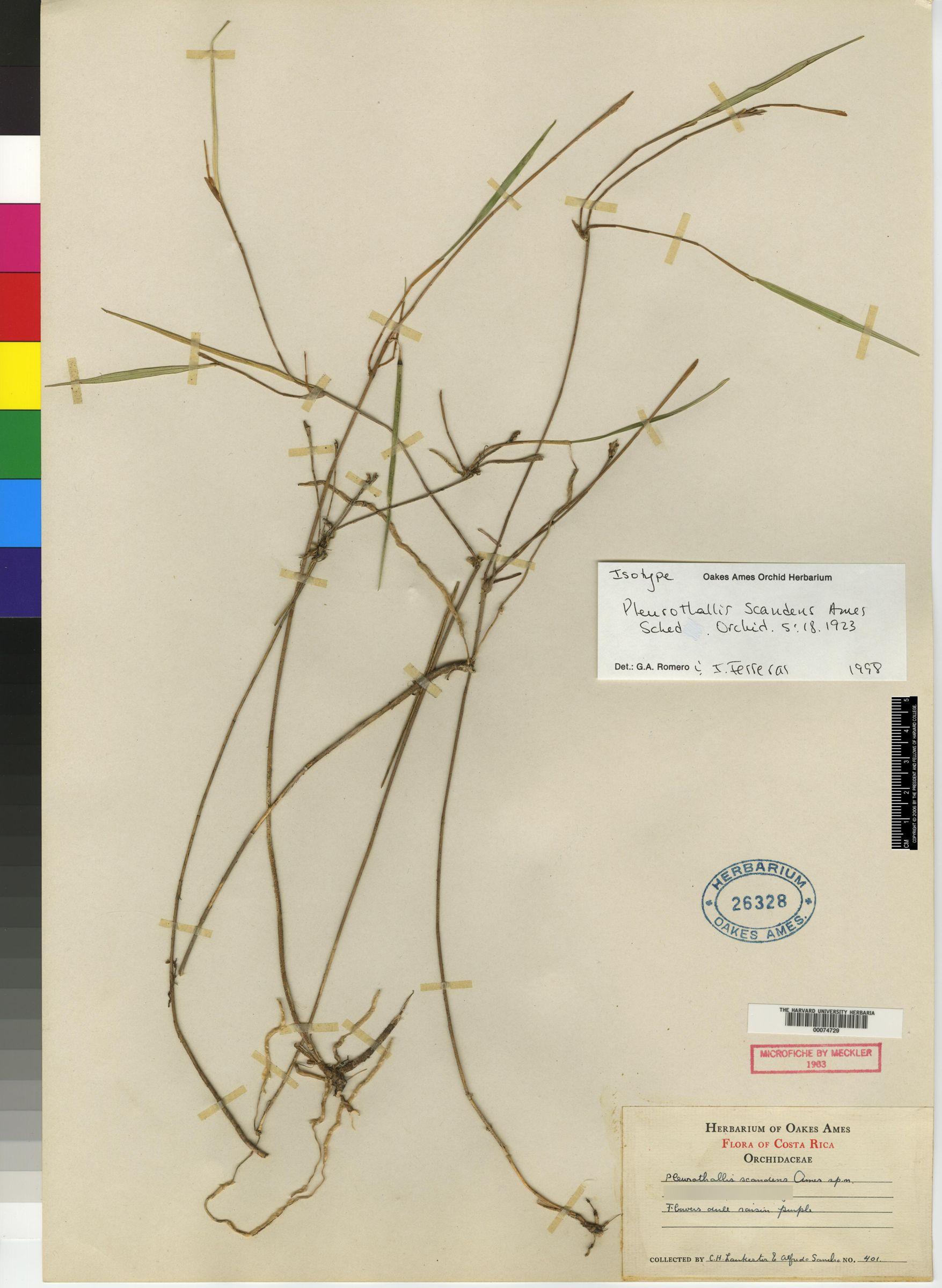 Myoxanthus scandens image
