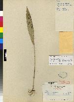 Pleurothallis verecunda image