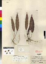Image of Acianthera violacea