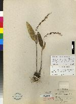 Pleurothallis loranthophylla image