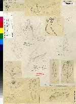 Image of Acianthera oscitans