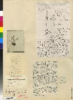 Polystachya masayensis image