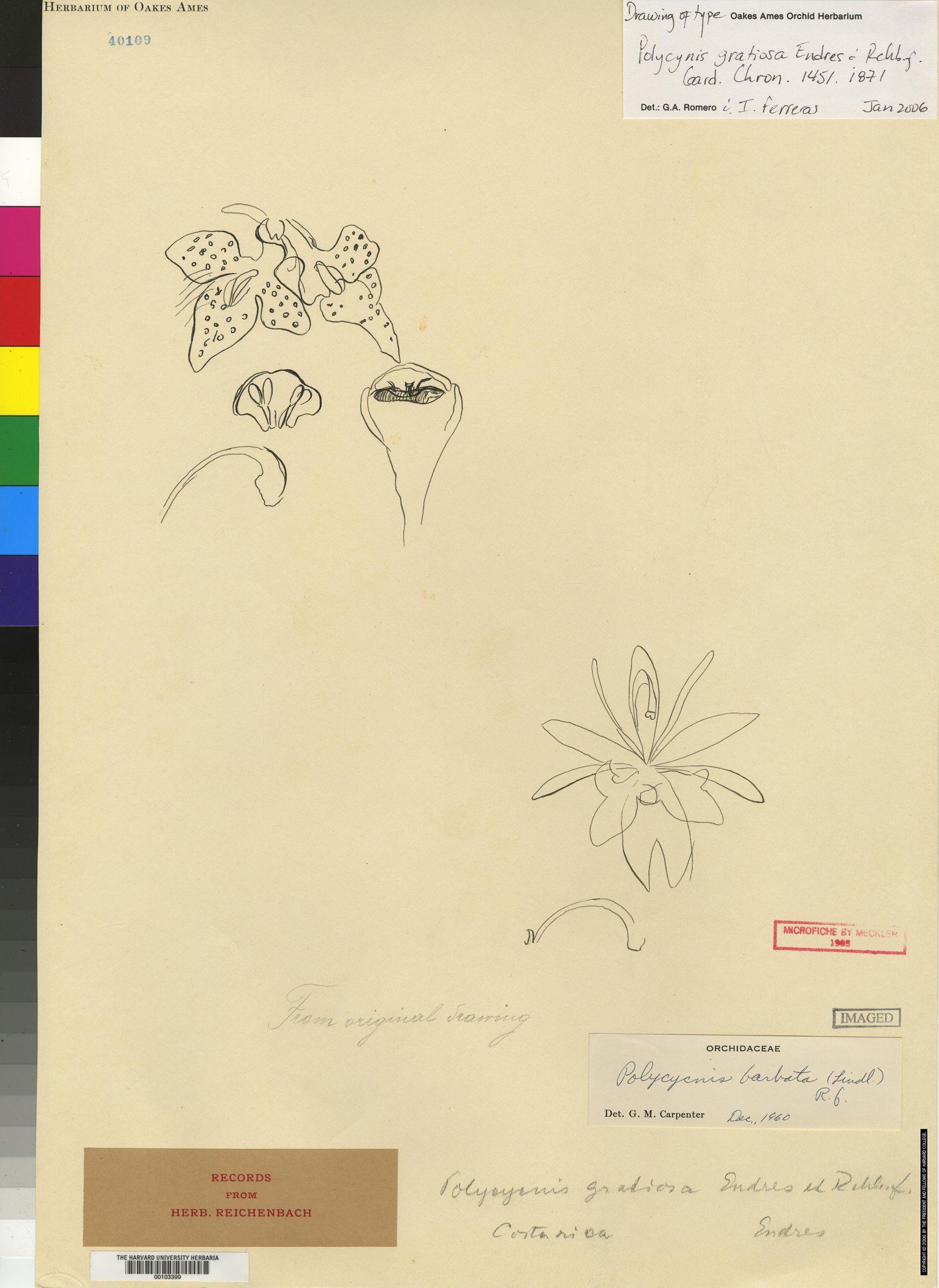 Polycycnis gratiosa image
