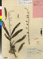 Polystachya foliosa image