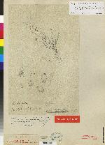 Stelis microchila image
