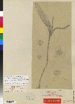 Stelis purpurascens image