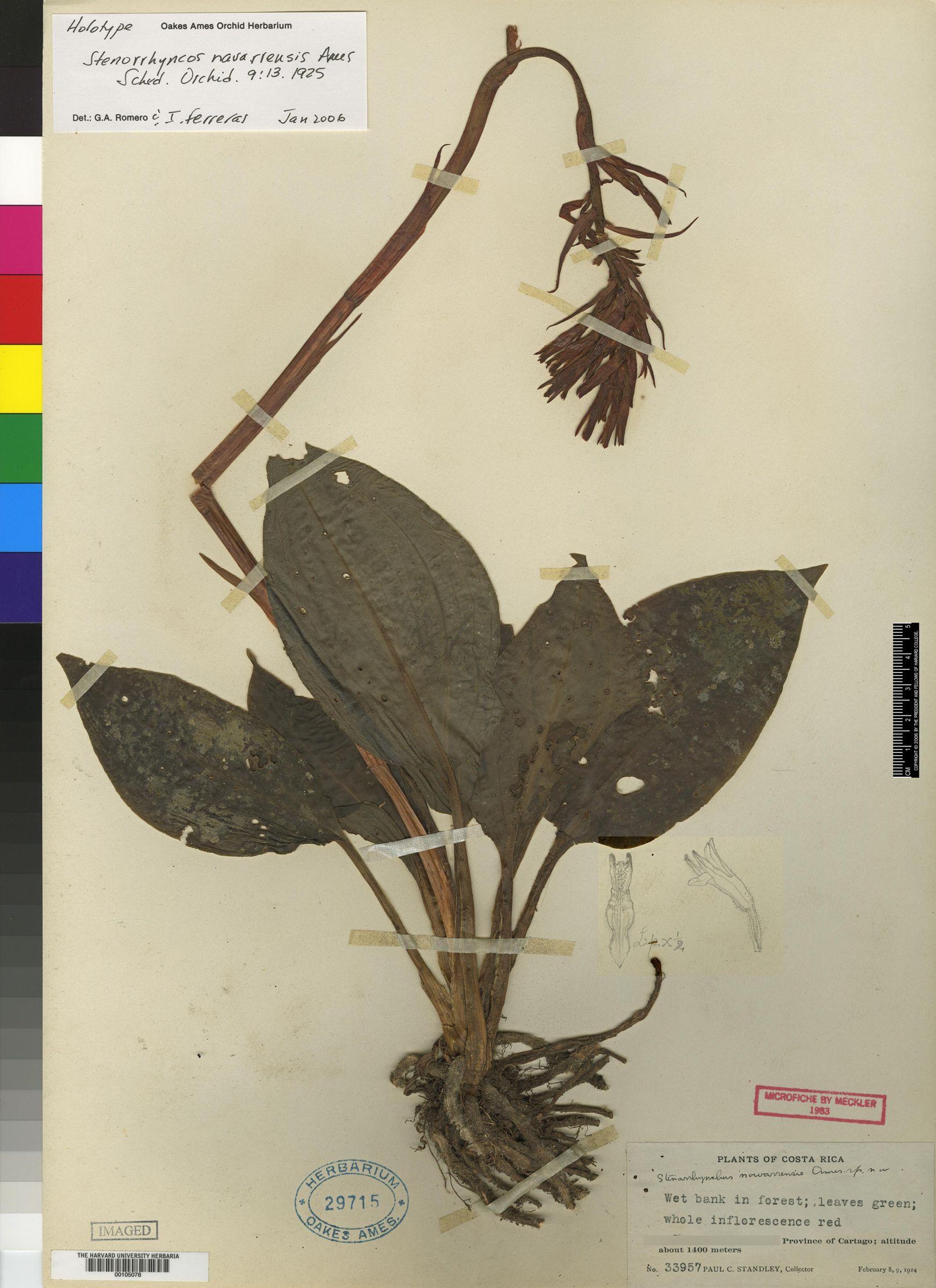 Coccineorchis navarrensis image