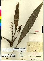 Image of Xylobium sulfurinum