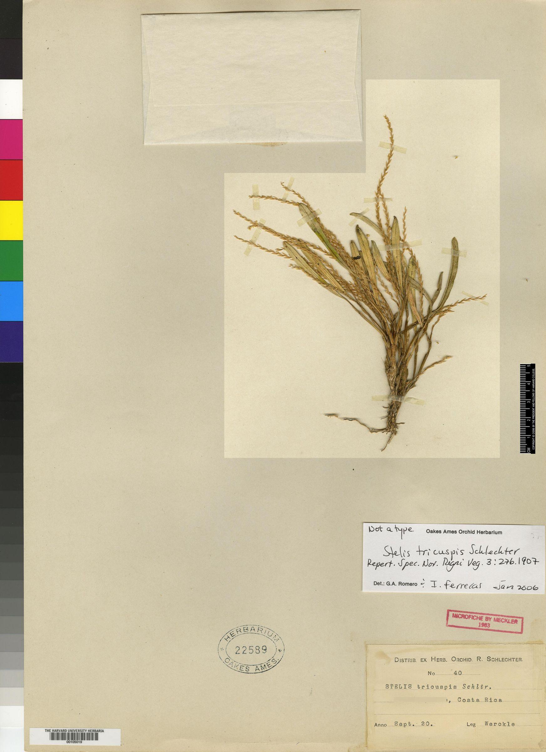 Stelis spathulata image