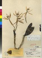 Epidendrum oerstedii image