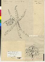 Epidendrum volutum image