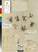 Image of Specklinia corniculata