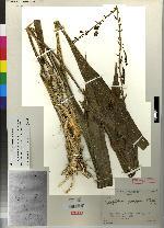 Warreopsis parviflora image