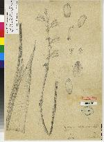 Warrea costaricensis image