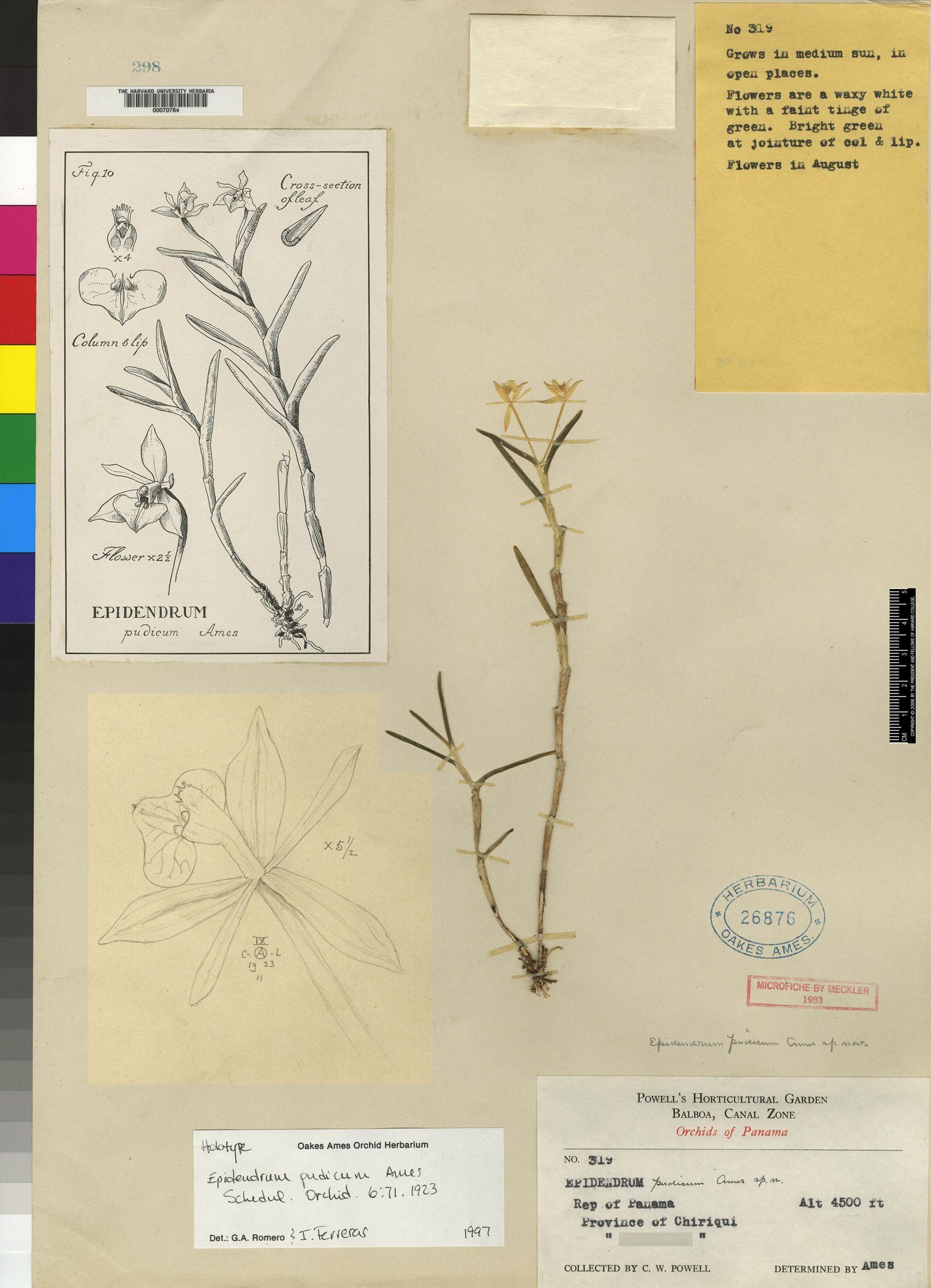 Epidendrum pudicum image