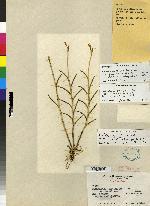 Jacquiniella teretifolia image