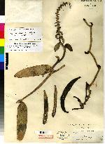 Vanilla phaeantha image