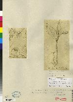 Elleanthus hymenophorus image