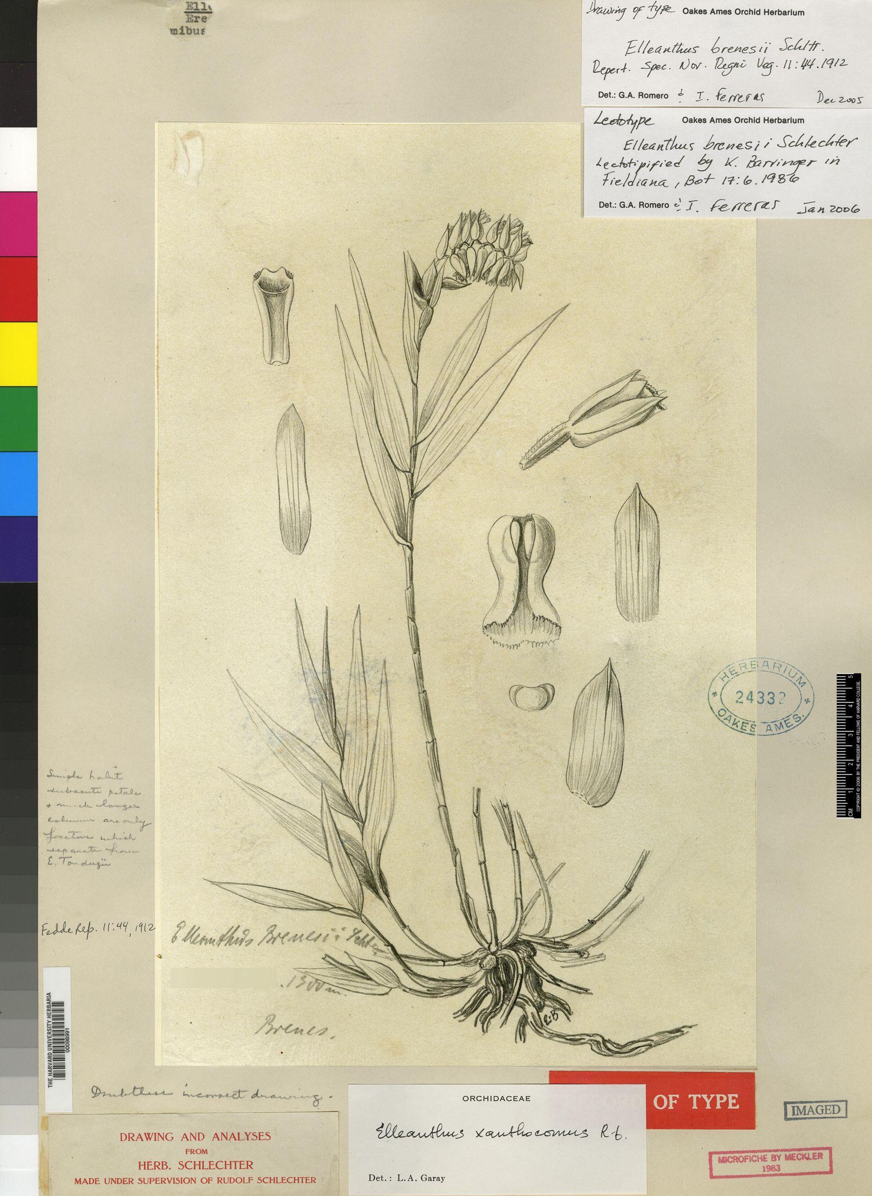 Elleanthus longibracteatus image