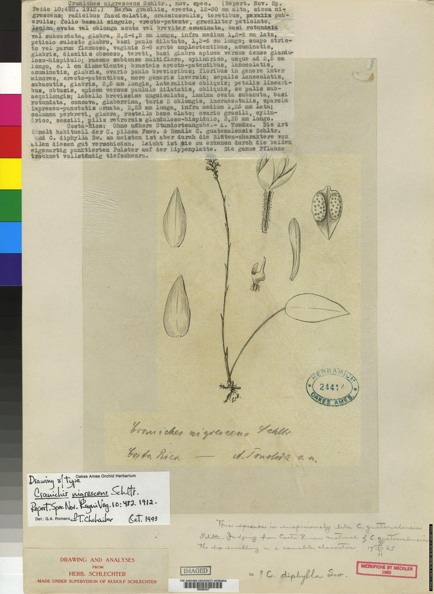 Cranichis diphylla image