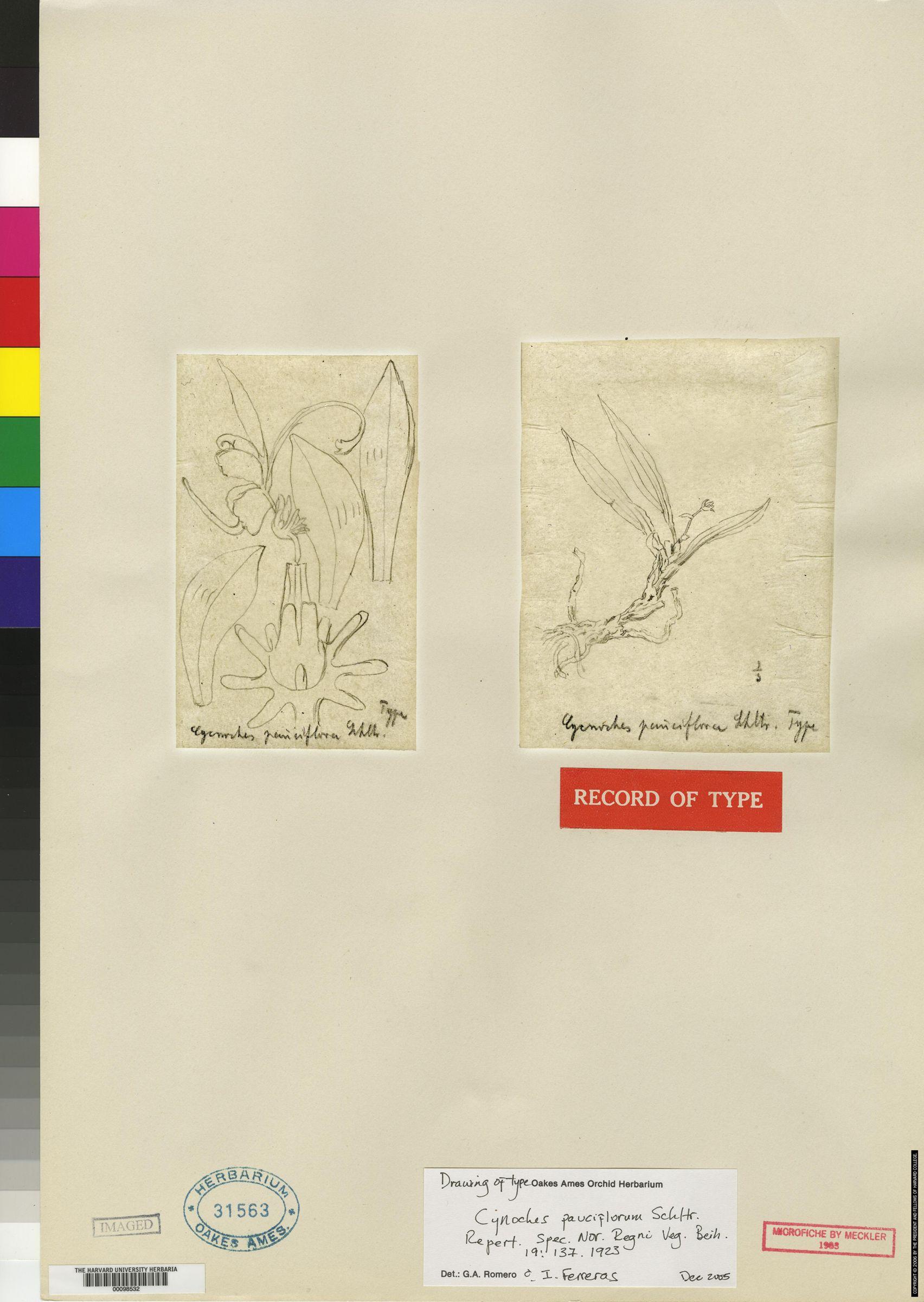Cycnoches egertonianum image