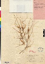 Brassia arcuigera image
