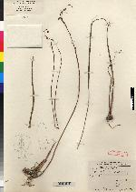 Image of Bletia tenuifolia