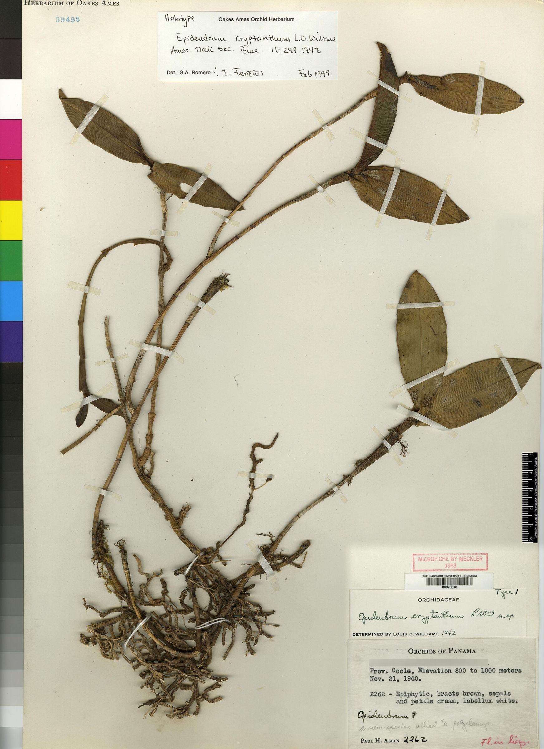 Epidendrum cryptanthum image