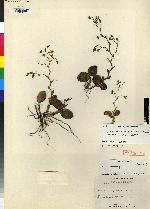 Epidendrum flexuosissimum image