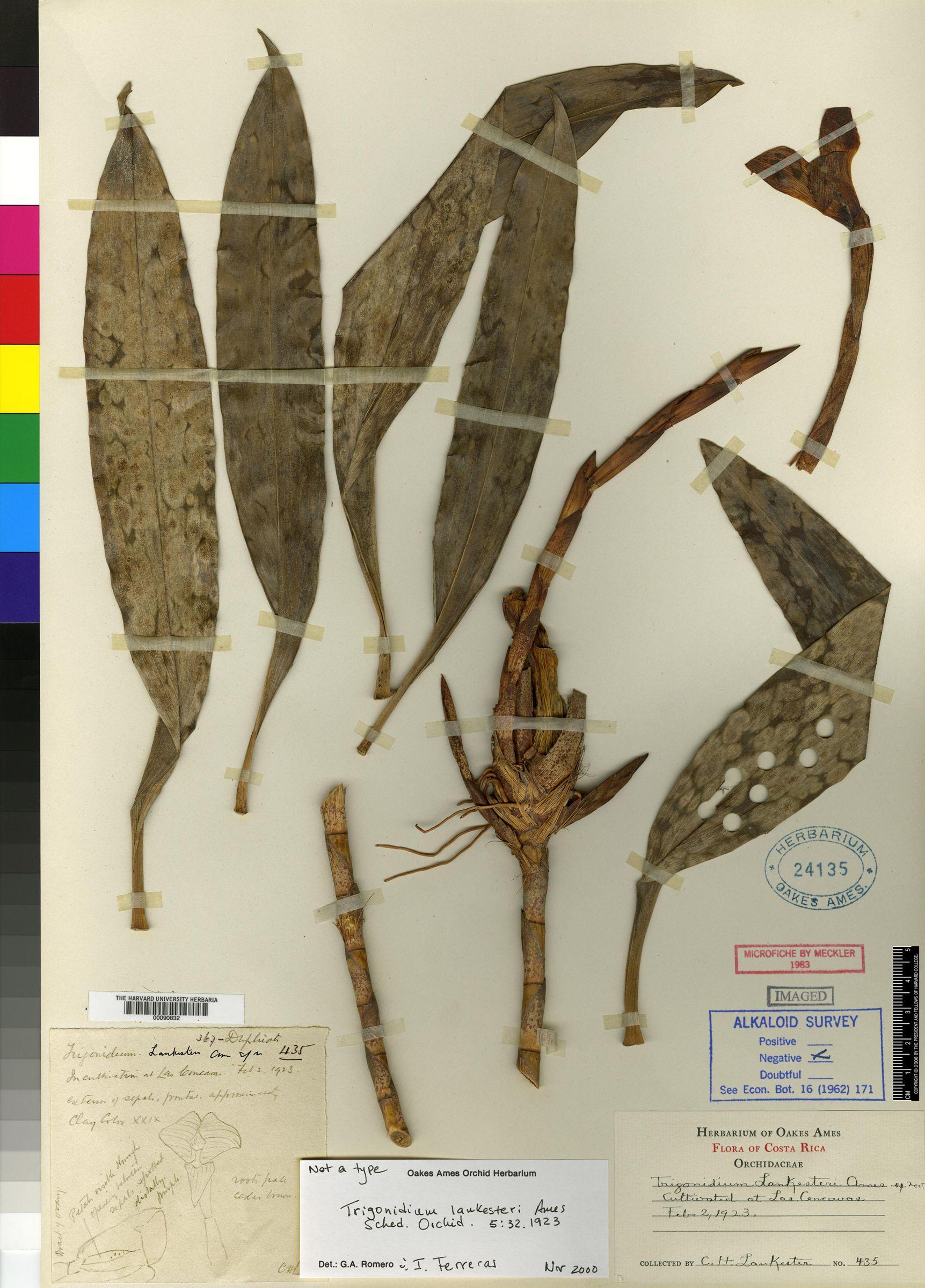 Trigonidium lankesteri image