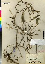 Epidendrum bisulcatum image