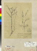 Epidendrum criniferum image