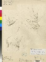 Acianthera trichophora image