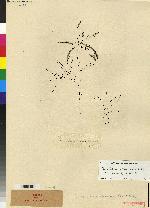 Prosthechea brassavolae image