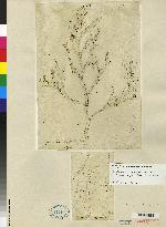 Epidendrum oxyglossum image