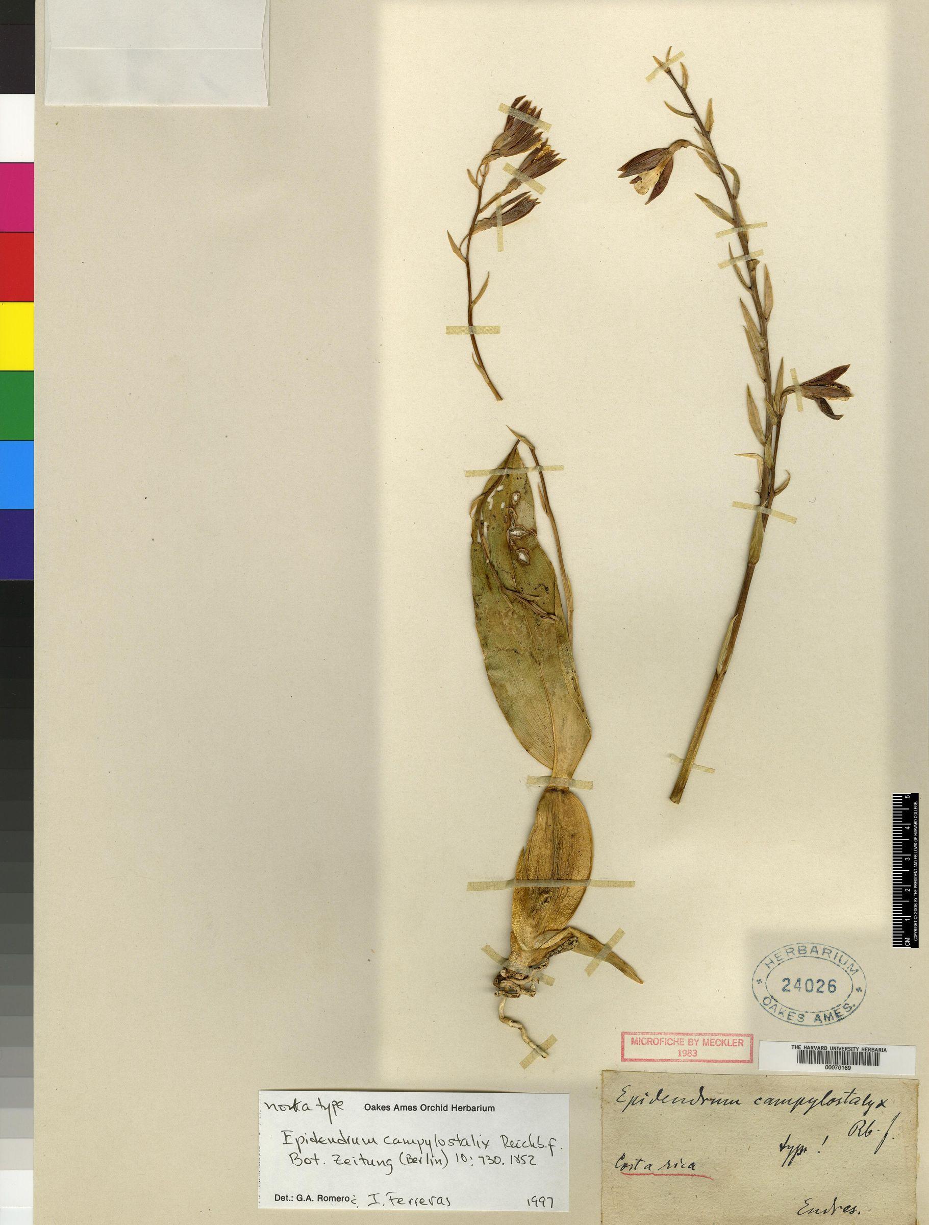 Prosthechea campylostalix image